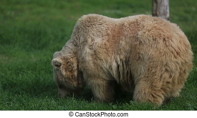 grizzly bear - big grizzly bear feeding in nature