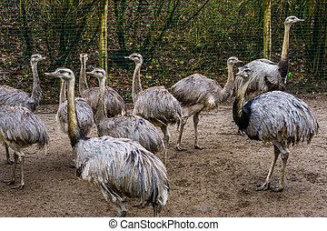 Big group of grey rheas together, Near threatened flightless...