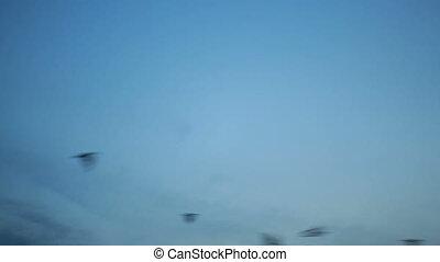 Big group of many black crow birds flying over blue sunset sky.