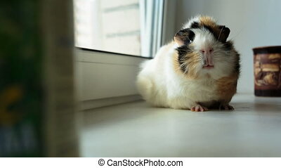big guinea pig on the windowsill