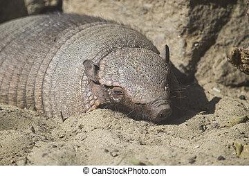 Big hairy armadillo sleeping