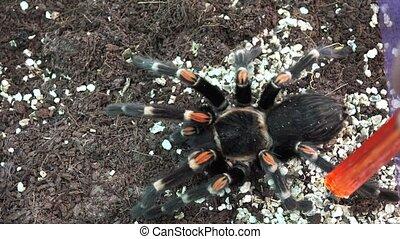 Big hairy spider. 4K. - Big hairy spider. Shot in 4K...