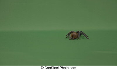 Big hairy tarantula spider walking on green screen...