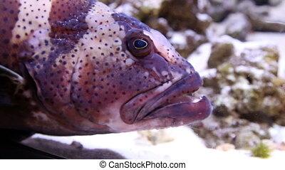 Big Head of a Grouper in aquarium