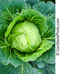 Big head of cabbage - The image of big head of ripe cabbage