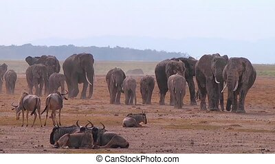 Big Herd Of Elephants
