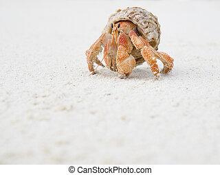 Big Hermit Crab