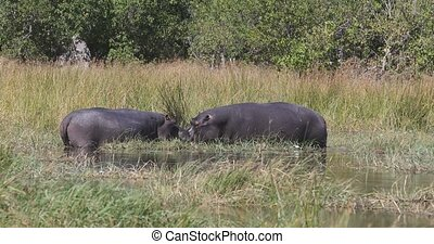 big hippo (Hippopotamus amphibius) in natural habitat, graze on ashore of the river bank. Moremi, Okawango delta, Botswana