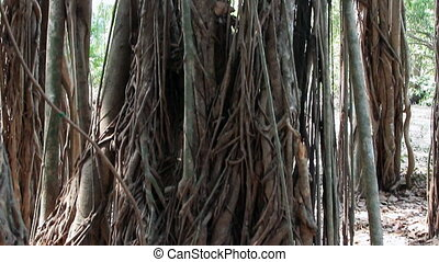 Big holy banyan close up