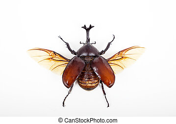 big horn beetle bug isolated on white background