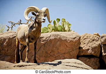 Big Horn Sheep Alpha Male