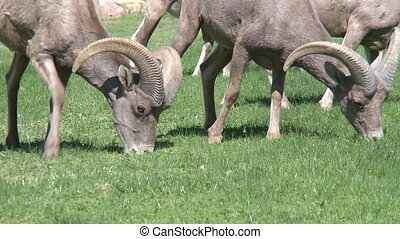 Big Horn Sheep Grazing (1 of 4)