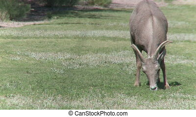 Big Horn Sheep Grazing (2 of 4)