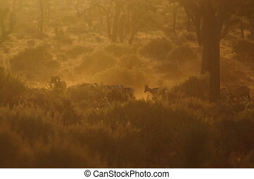 Big horn sheep grazing in the early morning light