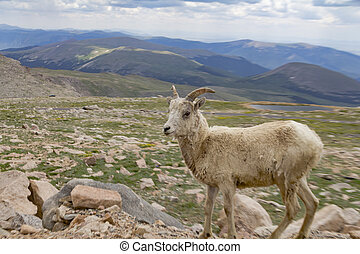 Big horn sheep in the Rockies