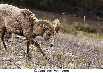 Big Horn Sheep in the Seculed Nature of Banff National park