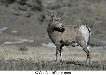 Big horn sheep, Puma concolor, Yellowstone National Park, ...