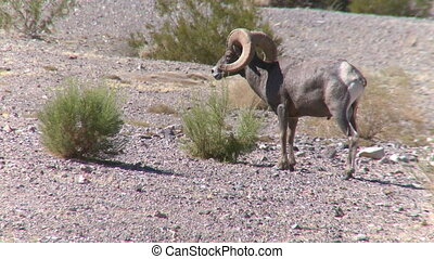 Big Horn Sheep Ram (3 of 7)
