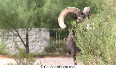 Big Horn Sheep Ram (5 of 7)