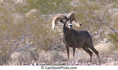 Big Horn Sheep Ram (6 of 7)