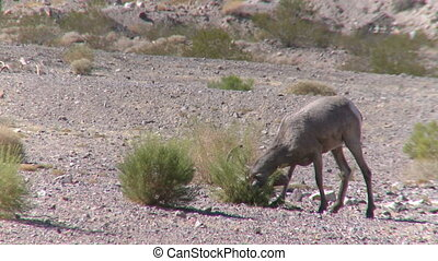 Big Horn Sheep Ram (7 of 7)