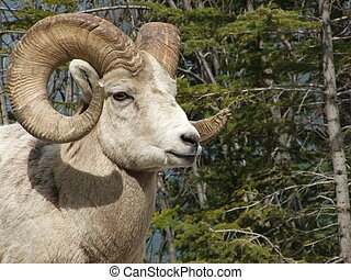 Big Horn Sheep Ram Close - Close up of Big Horn Sheep Ram...