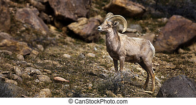 Big Horn Sheep. Single Ram.