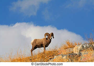 Big Horn Sheep - Big horn Shep with blue sky in the...