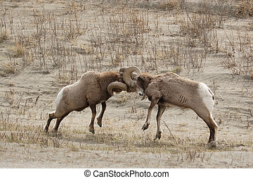 Big horn sheep. - Two big horn sheep fighting.