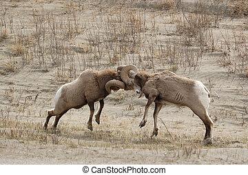 Big horn sheep. - Two big horn sheep fighting.