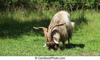 Big horned goat grazing in a green lawn in the forest on a...