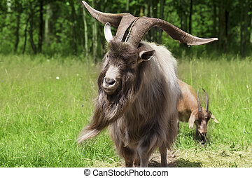 Big horned goat outdoors