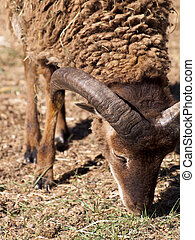 Big-Horned Sheep - Brown big-horned sheep grazing on the ...