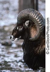 Big Horned Sheep H-549