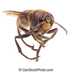 hornet