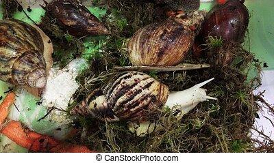 Big, huge snails. 4K. - Big, huge snails. Shot in 4K...