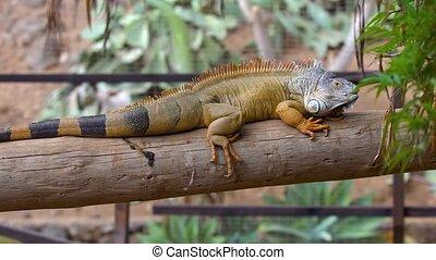 big iguana in zoo at Tenerife - big iguana in zoo at...