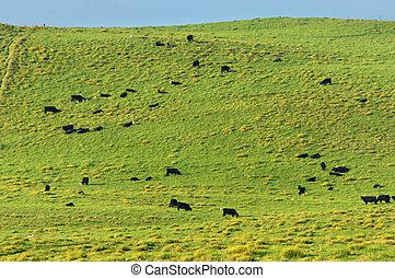Big Island Cattle Farm