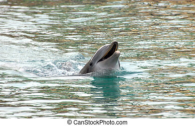 Big Island Dolphin - Dolphin surfaces and playfully calls...