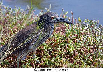 Big Island Heron