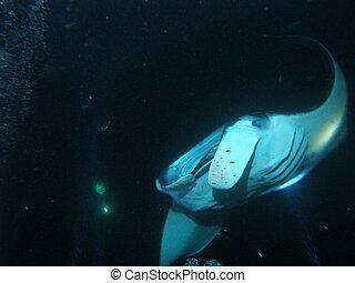 Big island Manta ray on night dive