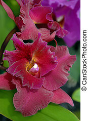 Big Island Orchid - Beautiful and dark rich plum colored...