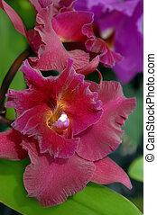 Big Island Orchid