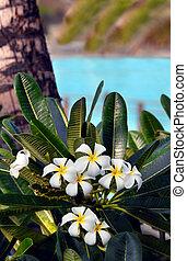Big Island Plumeria