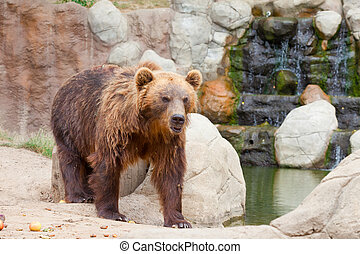 Big Kamchatka brown bear among stones in the wood