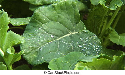 Big leaf and rain droplets - A steady shot of a big leaf...