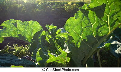 Big leaf of collard plant growing on a field at the sunset