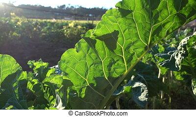 Big leaf of collard plant growing on a field
