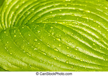 Big leaf of light green colours - A big leaf of light green...
