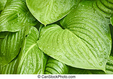 Big leaves of Hosta with water drops